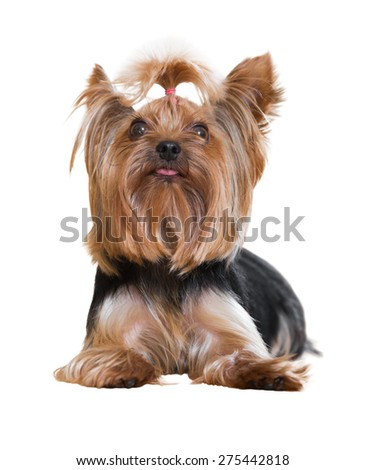 Popular companion dog breed Yorkshire Terrier. Isolated on  white background  - stock photo