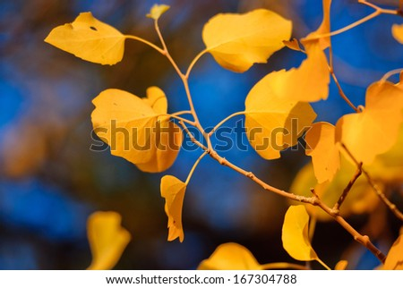 populus leave in autumn, Inner-Mongolia, China - stock photo