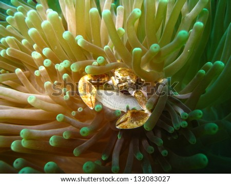 Porcelain crab on an anemone