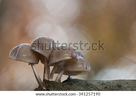 Porcelain fungi, Oudemansiella mucida on beech trunk in autumn - stock photo