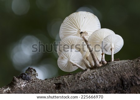 Porcelain fungus (Oudemansiella mucida) - the Netherlands - stock photo