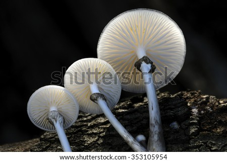 Porcelain or beech tuft toadstools - stock photo