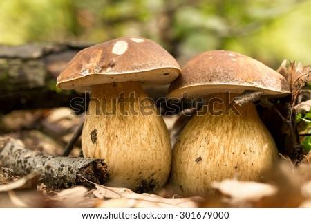 Porcini fungi on the litter (Boletus edulis) - stock photo