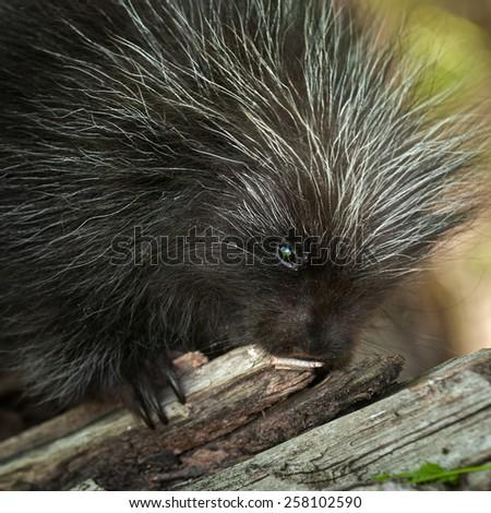 Porcupette (Erethizon dorsatum) Chews on Branch - Baby Porcupine - stock photo