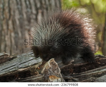 Porcupette (Erethizon dorsatum) Investigates Birch Curl - captive animal - stock photo