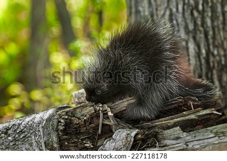 Porcupette (Erethizon dorsatum) on Birch Branch - captive animal - stock photo