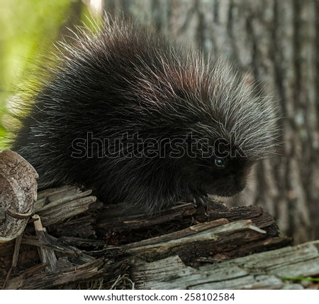 Porcupette (Erethizon dorsatum) Sits on Branch - captive animal - Baby Porcupine - stock photo