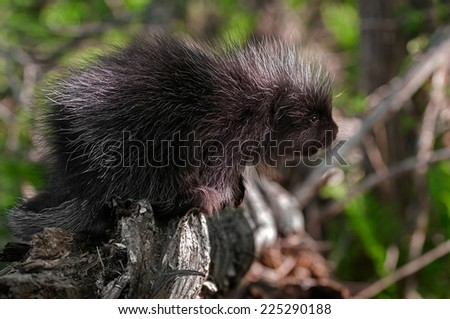 Porcupette (Erethizon dorsatum) Stretches out from Branch - captive animal - stock photo