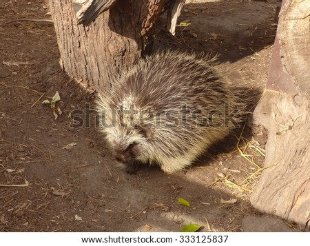 porcupine among rocks