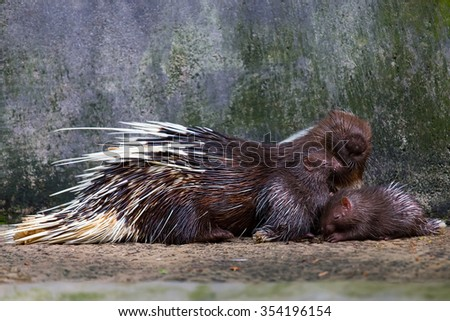 Porcupine and two children were sleeping with their mother. - stock photo