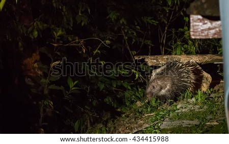 Porcupine come out at night for food - stock photo