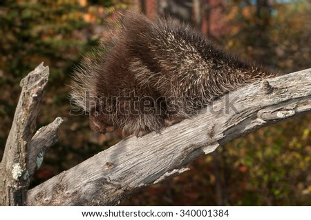 Porcupine (Erethizon dorsatum) Climbs Down Branch - captive animal - stock photo