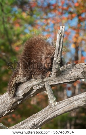 Porcupine (Erethizon dorsatum) Dozes - captive animal - stock photo