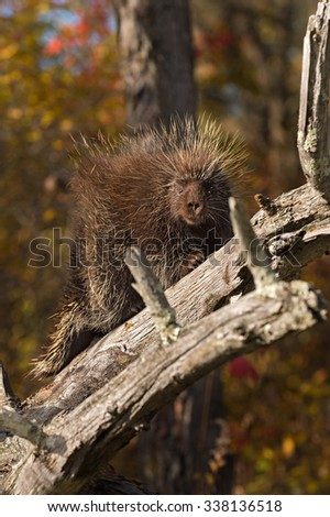 Porcupine (Erethizon dorsatum) Looks at Viewer from Branch - captive animal - stock photo