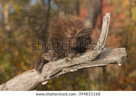 Porcupine (Erethizon dorsatum) Looks Down from Branch - captive animal - stock photo