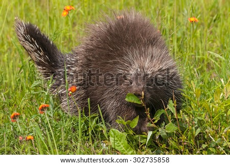 Porcupine (Erethizon dorsatum) Sniffs at Leaf - captive animal