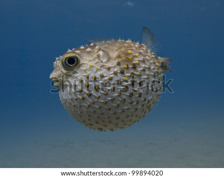 Porcupine fish blown up - stock photo