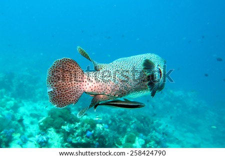 porcupine fish on the coral reef in Phuket,Thailand