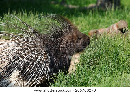 Porcupine (Hystricidae) in the grass in the natural environment - stock photo