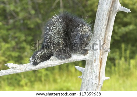 Porcupine in dead tree - stock photo