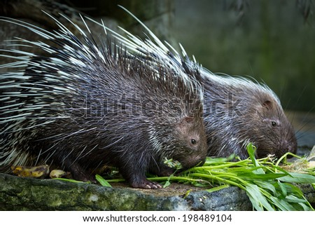 porcupine in the zoo. - stock photo