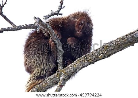 Porcupine in tree  - stock photo