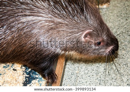 Porcupine is a large rodent, whose body is covered with short and long needles