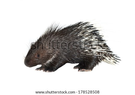porcupine isolated on white background - stock photo