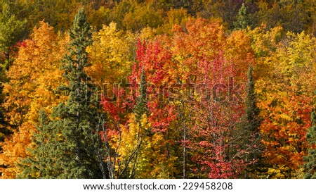 Porcupine Mountains Wilderness State Park, Ontonagon, Michigan, USA - September 30, 2011:  Variety of fall colors on trees in Porcupine Mountains Wilderness State Park.   - stock photo