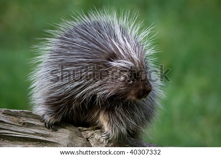 Porcupine on a log.