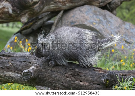 Porcupine on dead log with yellow flowers and grass