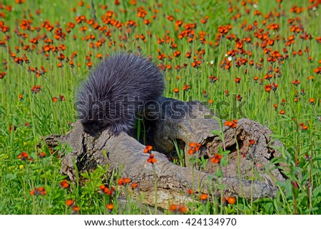 Porcupine playing on a log in a field of orange wildflowers. - stock photo