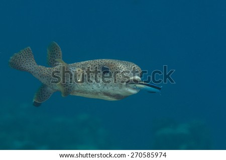 Porcupine Pufferfish, Diodon hystrix, Cleanerfish , Labroides dimidiatus