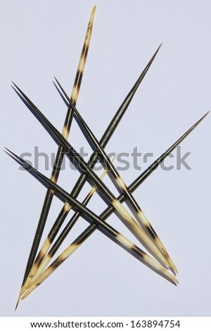 Porcupine Quills Background - Decorative arrangements from Mother Nature - stock photo