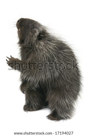 Porcupine reaching out isolated on a white background