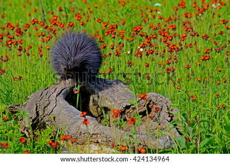 Porcupine sits on a log in a field of orange wildflowres. - stock photo