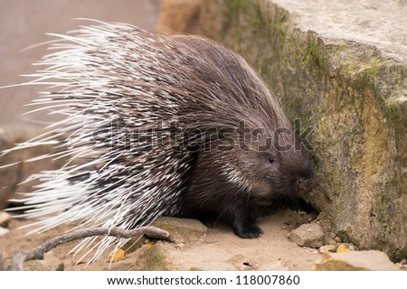 porcupine turning and displaying spines/Porcupine