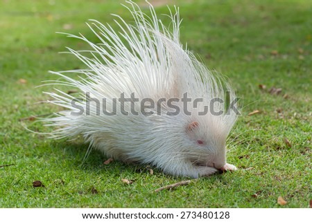porcupine white on a green lawn. - stock photo