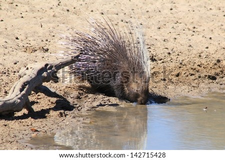 Porcupine - Wildlife from Africa - A wild and free Rodent drinks water on a game ranch in Namibia.