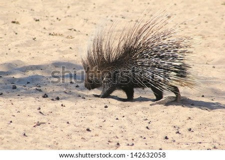 Porcupine - Wildlife from Africa, completely Free and Wild - Walking with a thousand dagger quills on your back.  Photographed in Namibia. - stock photo