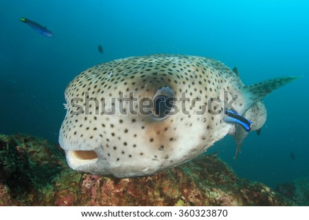 Porcupinefish fish
