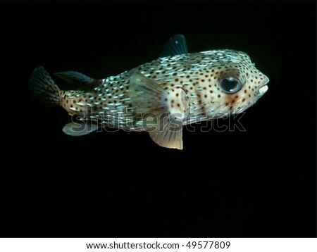 Porcupinefish,  This fish is a night feeder and hides during the day. Night dive photo - stock photo