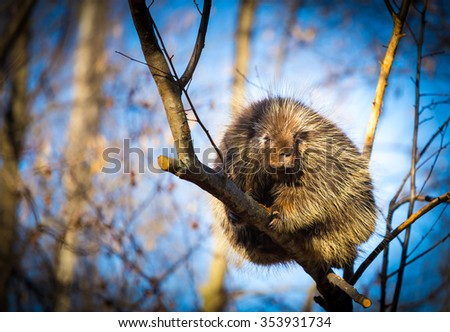 Porcupines pronounced blue are rodents with a coat of sharp spines, or quills, that protect against predators. They live in wooded areas and climb trees, where some species spend their entire lives.