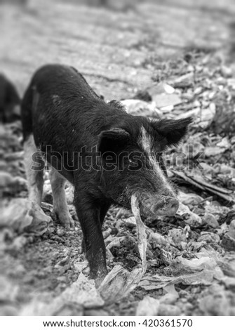 Pork eating nylon in a garbage dump in black and white - stock photo