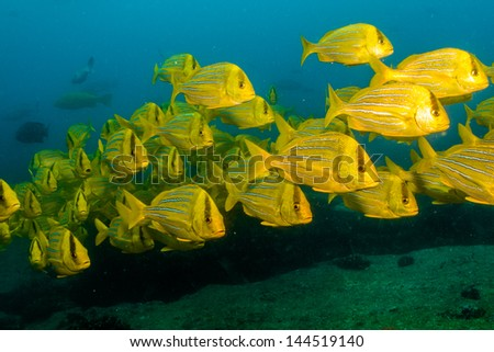 Porkfish from the reefs of the sea of cortez, Cabo pulmo national park, mexico. - stock photo