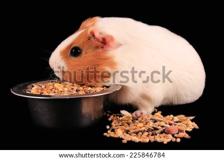 Porpoise , carrots, vegetables, grains , cereals, fodder , black background , carrot , dishes for animals phases , pet , animals , face Mosca pigs each person to live in a cage, sharp teeth