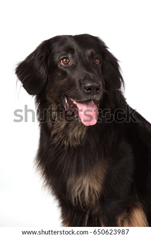 Portiret of a dog of breed of Hovawart black with brown colors with an open mouth and the flicked out tongue language on a white background.