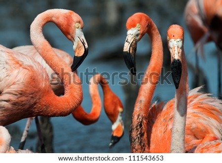 Portrai of group Great Flamingos on the blue background . Rio Maximo, Camaguey, Cuba.