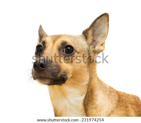 Portrait  a  dog  muzzle close-up on a white background isolated - stock photo