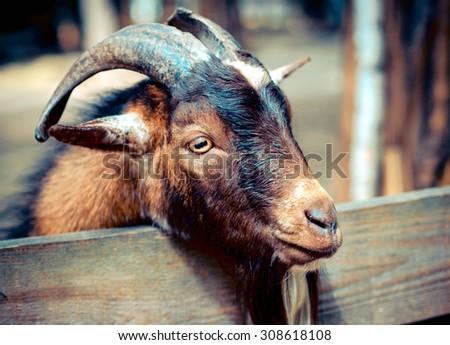 Portrait a goat - horned cloven-hoofed animals on the farm, closeup shot. Pet mammal family. - stock photo